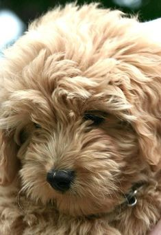 Loyal, Intelligent, Gentle, Affectionate, Great Desire to Please Sunny Disposition, Easy to Train, Probable Low to No Shedding, Allergy Reduction or Elimination My future puppy? If I get my way and get one, it'll be like this Snuggles-like sweetheart. - Miniature Goldendoodle