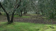 """The olive trees that produce our """"green gold"""" extravergine olive oil. Pure Tuscany. Taste it from www.poggioulivi.com"""