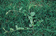 Bindweed Weeds In Lawn, Herbs, Herb