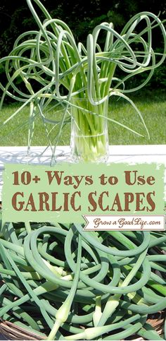 The garlic scape is edible and has a lovely, mild garlic flavor with a hint of sweetness. The scape is most tender, with almost an asparagus-like texture when it is curling. Here are Garlic Scape Recipes. Garlic Recipes, Vegetable Recipes, Recipe Garlic Scapes, Garlic Scape Pesto, Scape Recipe, Cooking Tips, Cooking Recipes, Basic Cooking, Gardens