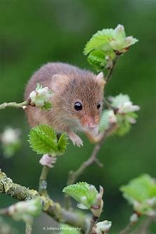 photo by garry chisholm on yourshot say it with flowers and a bleeding heart photo by garry chisholm national geographic your shot - Bing images Tame Animals, Animals And Pets, Funny Animals, Garden Animals, Nature Animals, Country Critters, Harvest Mouse, Pet Mice, Cute Mouse