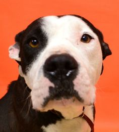 Meet HANNAH a Petfinder adoptable Pit Bull Terrier Dog | Denton, TX | 3-5 YEARS OLD. HANNAH WAS DUMPED BY HER OWNER ON A COUNTY ROAD IN DENTON. SHE HAS RECENTLY HAD...http://www.petfinder.com/petdetail/28991051/