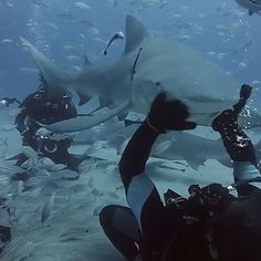 Lemon shark rubs. Hitting the water tomorrow, can't wait! #sharkaddicts #lemonshark #jupiter #floridalocal #florida #scubadiving #diving