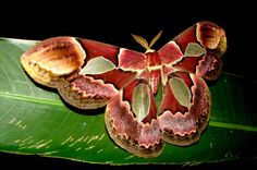 Mariposa-atlas                 Amazônia