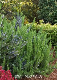 Monrovias Variegated English Boxwood details and information Learn