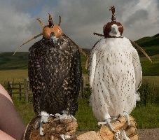 pair falconry