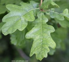 The most common oak tree in the UK is is also known as the English Oak and the German Oak. The leaves are on stems less than 10mm long.