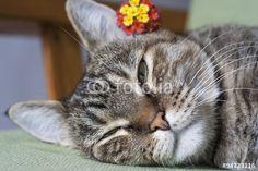 Gatto con giore Gatto primo piano #occhi #agilità #animali #artigli #baffi #felini #fusa #gatto #gattoeuropeo #gattotigrato #mammiferi #mondoanimale #natura #quattrozampe #scattante #velocità #zampe