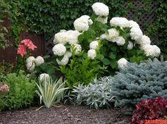 Семь советов по выращиванию прекрасных гортензий