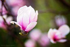 Magnolia by Zlatica Rybárová on 500px