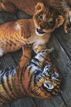 Envy Avenue. — Lion & Tiger Cubs
