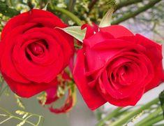 Cara Menanam Bunga Mawar dari Biji