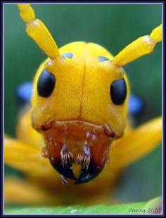 The art of staring...Glenea (Accolona) astathiformis ~ Long horned beetle