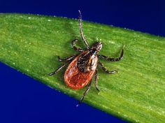 Black-legged ticks like this can transmit the bacterium that causes Lyme disease.