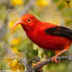 Rainforest Site, Hawaiian Islands, Endangered Species, Bird Species, Habitats, Wildlife, Action, The Incredibles, Birds