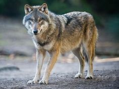 【5月5日 AFP】雌1頭を含む少なくとも5頭のオオカミが2世紀ぶりにデンマークに戻ってきたと、DNAを入手した動物学者が4日に明かした。