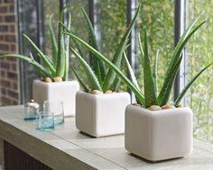 Aloe vera. Har flera plantor hemma.