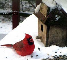 Cardinal ~ Time to Feed the Birds! (Garden of Len & Barb Rosen) http://ourfairfieldhomeandgarden.com/its-time-to-feed-the-birds/