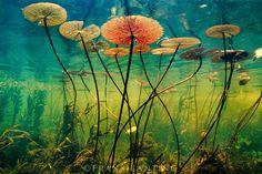 Water lilies, Nymphaea nouchali, Okavango Delta, Botswana, Frans Lanting