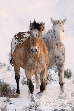 Two Appaloosas in the Snow  Fine Art Horse Photograph by Carol Walker  www.LivingImagesCJW.com