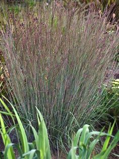 Schizachyrium scoparium Blue Heaven, for between windows in front. Blue grey foliage will turn a mix of burgundy red, pink and orange in the fall. Bamboo Grass, Bamboo Plants, Garden Plants, Perennial Grasses, Ornamental Grasses, Perennials, Seaside Garden, Front Yard Design, Lawn And Landscape