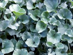 25 Dichondra Silver Falls Seeds Ground Cover Seeds by nurseryseeds Ground Cover Seeds, Ground Cover Plants, Ivy Plants, Garden Plants, Garden Seeds, Foliage Plants, Shade Plants, House Plants, Begonia