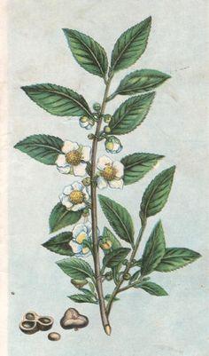 tea plant illustration