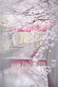 Cherry blossom, Meguro River, Tokyo, Japan. I like Cherry Blossoms and the Japanese have the best imo...