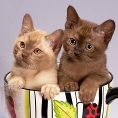 Cute Kittens, Cats And Kittens, Siamese Cats, Funny Cats, Funny Animals, Cute Animals, Cool Cats, Burmese Kittens, Best Cat Breeds