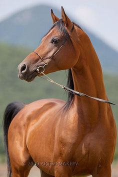 Russian Arabian Stallion - Arabian horse - by Artyom Makeyev