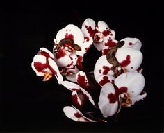 Nobuyoshi Araki, Untitled from the series Flowers and Jamorinsky, 2005/ 2006.