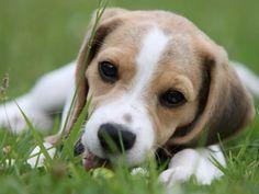 Cute beagle dog lying on the grass