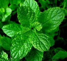 7 bonnes raisons pourquoi vous devriez cultiver une plante de menthe chez vous !