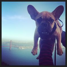 winstondogsf.  Cute frenchie!