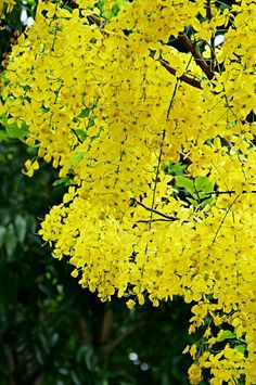 Flowering Trees, Trees And Shrubs, Yellow Flowers, Beautiful Flowers, Wisteria Bonsai, Blue Roses Wallpaper, Colorful Shrubs, Yellow Tree, Most Beautiful Gardens