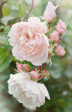 'The Generous Gardener' English rose