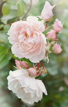 'The Generous Gardener' English rose