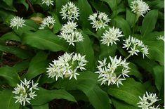 JAK PĚSTOVAT MEDVĚDÍ ČESNEK? | Zahrádkářův rok Flower Garden, Flowers, Growing, Plants, Herbs
