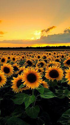 gelbe Sonnenblumen und Himmel – Bilder – … yellow sunflowers and sky – Pictures – …, Tumblr Wallpaper, Wallpaper Backgrounds, Iphone Wallpapers, Wallpaper Desktop, Mobile Wallpaper, Desktop Backgrounds, Wallpaper Samsung, Desktop Images, Trendy Wallpaper