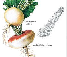 Vodnice, pozapomenutá užitečná zelenina: pěstování, recepty