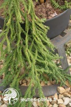 Cryptomeria japonica 'Rasen-sugi' - Cryptomeria Rasen-sugi