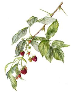 Raspberries (late fruiting variety)                   Marianne Grundy