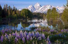 http://www.imagekind.com/Teton-Lupines-III_art?IMID=4f1448a2-5e14-47c8-a00c-3dd68fdd6090