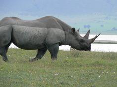 Rhino, Tanzania