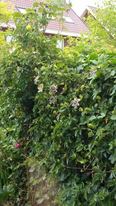 Passiebloem (klimplant, kan in zon en schaduw, woekert: slierten worden wel 7 meter lang)