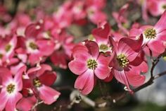 Dogwood flowers - Nathan Blaney/Photodisc/Getty Images