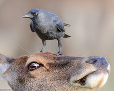 Balancing act: British photographer Tom Hines snapped this shot of a Western Jackdaw daintily perched atop a red deer in London's Richmond Park. The birds regularly groom the larger animal for ticks and other insects