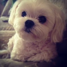 maltese-who doesn't love that face