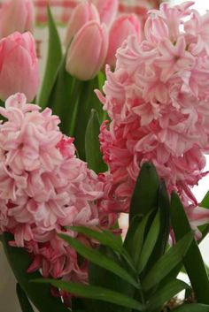 Pink Tulips and Hyacinth..I've always loved Hyacinth, they are beautiful and sooo fragrant!