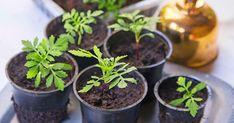 Maitopurkit, muovirasiat ja muovipullot muuntuvat kätevästi taimien kasvatusastioiksi. Katso Viherpihan näppärät ohjeet!